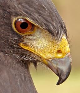 Harris Hawk Website